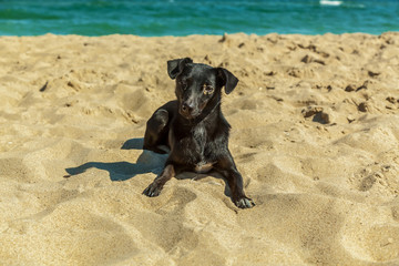 Labrador puppy.