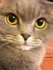 Funny face of scottish fold cat with big orange eyes