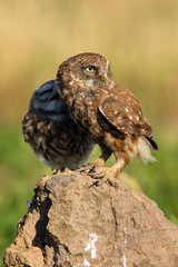 The little owl (Athene noctua) an adult with a young sitting on a stone