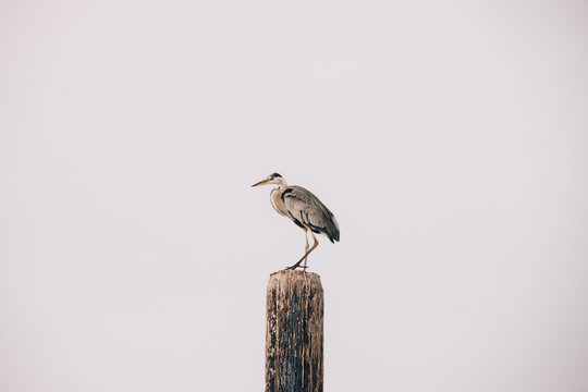 Gray heron, Ardea cinerea, perching on wooden post