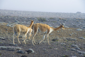 Domestic alpacas or llamas in high altitudes in Ecuadorian Andes, south America, on a foggy and sunny day