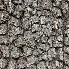 Apple tree bark texture as background