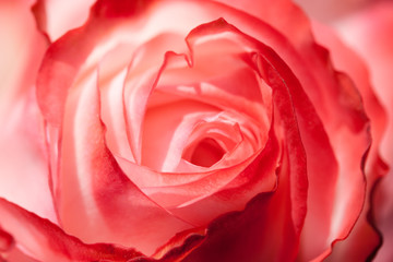 Rose Flower Beauty