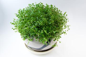 Soleirolia in a pot on white background