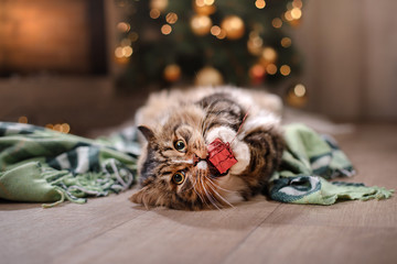 Tabby and happy cat. Christmas season 2017, new year, holidays and celebration