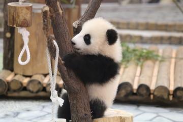 パンダの子供