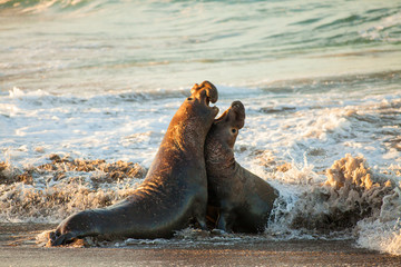 male elephant seals fight over territory and female harem, Piedras Blancas Elephant Seal Colony, near San Simeon, California