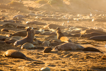 male elephant seal announcing his territorry, Piedras Blancas Elephant Seal Colony, near San Simeon, California