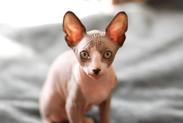 bare cat Sphynx