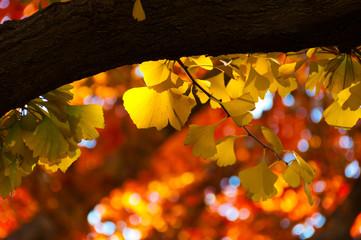 明治神宮外苑銀杏並木・紅葉黄葉
