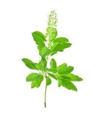 Basil flower on a white background