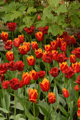 Red Tulips with Yellow Fringe and Fringed Red Tulips in Garden Surrounded with Foiage