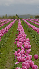 Rows of Pink Tulips Stretching to the Horizon with Rain Puddles Between Rows at Skagit Valley Tulip Farm