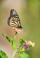 Monarch butterfly (Danaus plexippus) feeding on Lantana flowers in the garden. Natural green background with copy space.