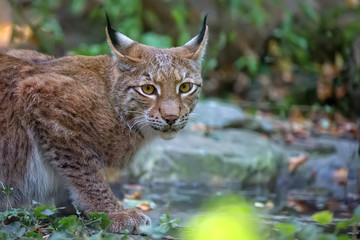 Lynx in the forest, a portrait