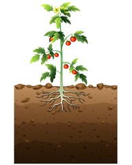 Tomatoes plant with root underground illustration