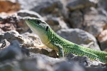 European Green Lizard (Lacerta Viridis) near Krka, Croatia