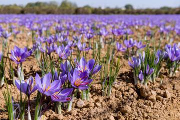 Close-up of a field of saffron