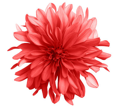 red flower on a white  background isolated  with clipping path. Closeup. big shaggy  flower. Dahlia.