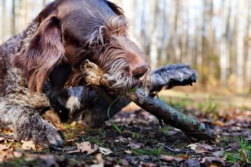 Dog Drathaar chews on a stick