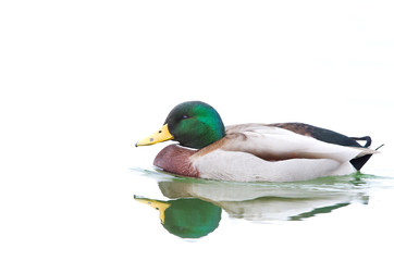 Male Mallard duck (Anas platyrhynchos) drake swimming isolated against a white background in winter in Canada