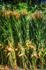 Corn Stalks 2