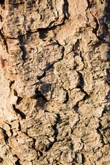 texture bark of tree