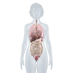 Innere Organe: anatomische Illustration – weiblicher Oberkörper