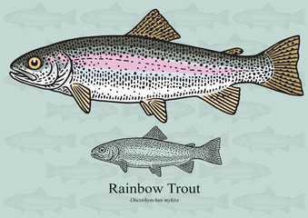 Rainbow Trout. Vector illustration for artwork in small sizes. Suitable for graphic and packaging design, educational examples, web, etc.