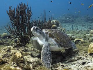 Unterwasser - Riff - Schildkröte - Schwamm - Tauchen - Curacao - Karibik