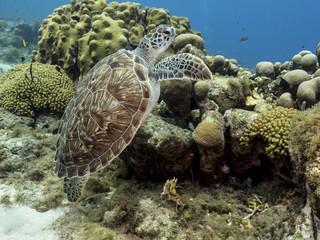Unterwasser - Riff - Schildkröte - Suppenschildkröte - Schwamm - Taucher - Tauchen - Curacao - Karibik