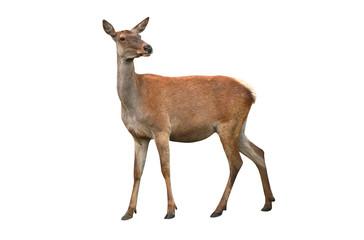 Poster de jardin Cerf deer