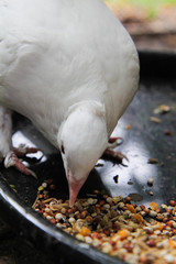 White dove eating whole grains