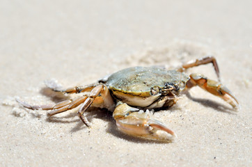 Sea crab on the sand on the seashore.