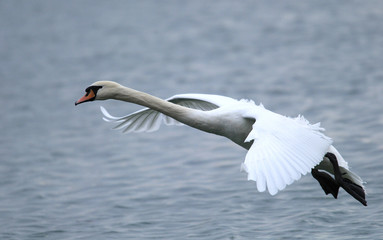 Mute Swan flying over the River Danube at Zemun in the Belgrade Serbia.