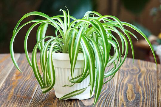 Chlorophytum in white flowerpot on wooden background . Ornamental plants in pot /Variegatum,comosum. Spider Plant