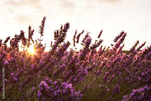 Campo di fiori di lavanda illuminati dai raggi del sole for Fiori di lavanda
