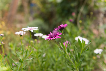 Osteospermum Flower Daisy growing