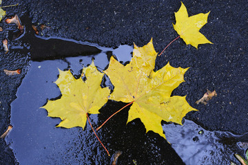 autumn maple leaves on the pavement