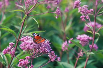 European Peacock Butterfly Sitting On Wild Purple Flower