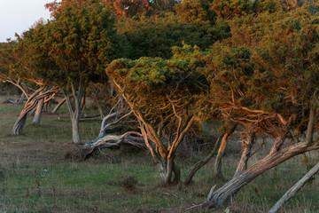 Windflüchter im Naturschutzgebiet Öland Südspitze, Schweden