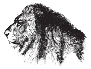Lion, vintage engraving.