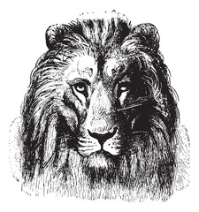 Lion's face, vintage engraving.
