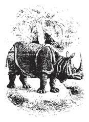 Rhinoceros, vintage engraving.