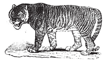 Tiger, vintage engraving.
