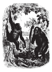 Chimpanzees in forest, vintage engraving.