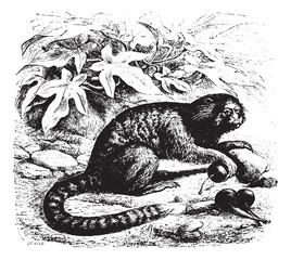 Guenon, vintage engraving.