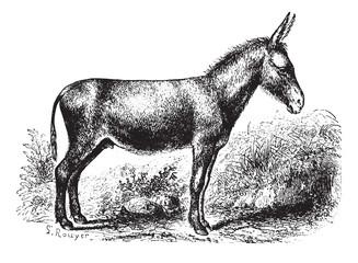 Donkey, vintage engraving.