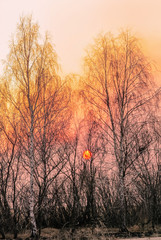 Bare birch trees at sunset