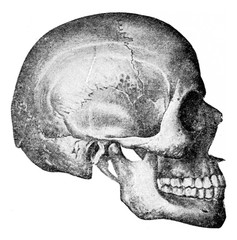 Side view of skull, vintage engraving.